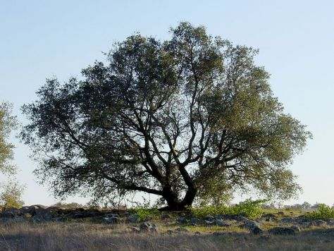 797px-Quercus_englmannii_sillouette